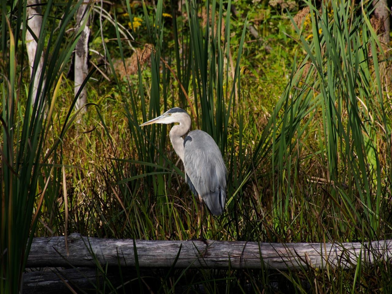 Heron-at-Dusk_9200064