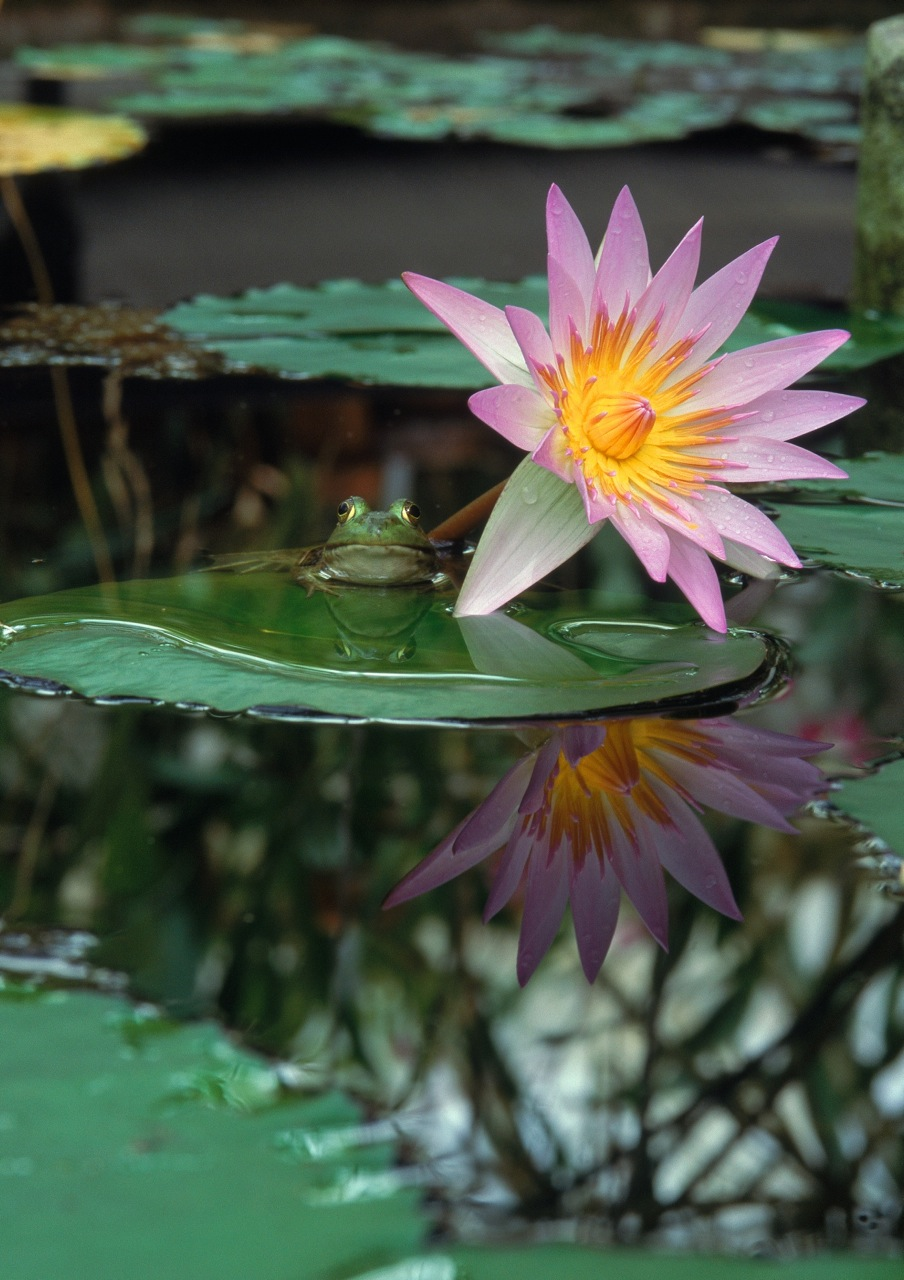 frog_lily_17x22