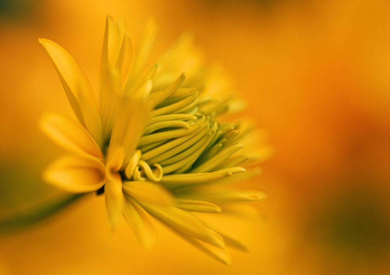 yellow-dahlia_17x22-1