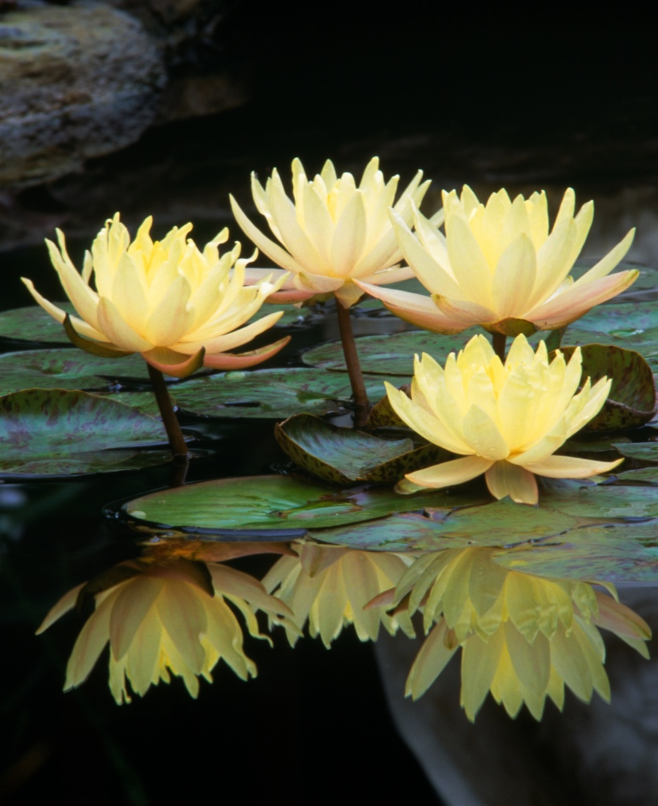 yellow-lotus_crop